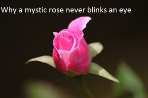 Mystery in a rose